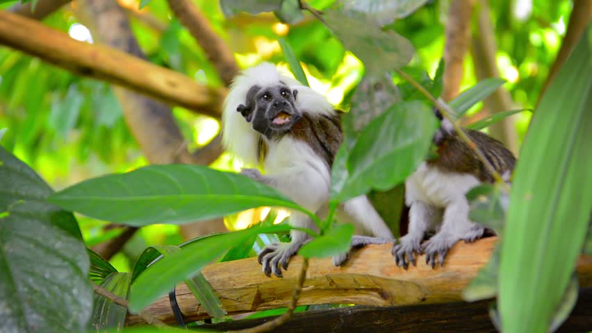 Video 1080p - Excessively cute pair of Cotton Top Tamarin Monkeys eating something while sitting on a tree branch in their realistic habitat enclosure at the zoo.
