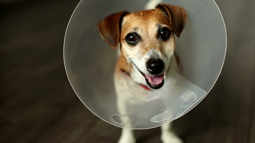 Cool cheerful dog with vet Elizabethan collar looking to camera, turned muzzle, licking, yawning, smiling. Curious stare. Beautiful Jack Russell terrier. Video footage. Shallow depth of field. 30 fps.