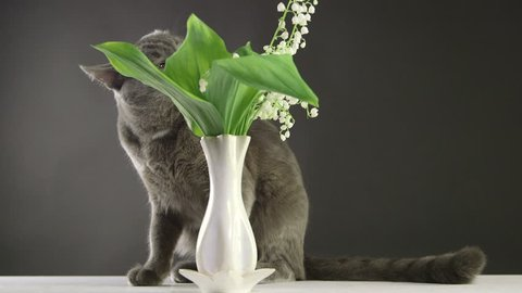 Cat trying to eat lily of the valley at home most toxic plant for cats