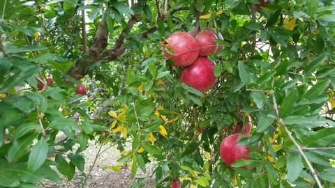 Fresh pomegranate fruits on branch of pomegranate  tree.
