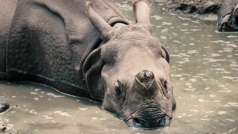 Indian rhinoceros (Rhinoceros unicornis) rhino wading in river close up
