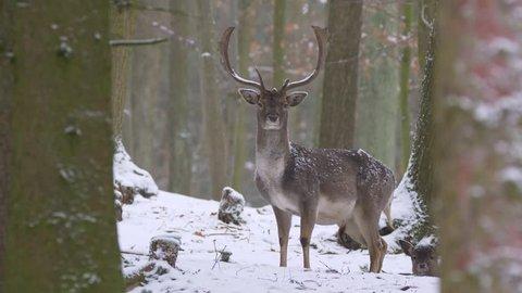 Fallow deer (Dama dama) in winter forest