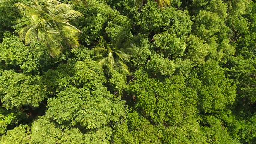 Aerial drone shot in sunny day time. fly over palm trees mangrove forest and beautiful beach lagoon. Located in martinique.