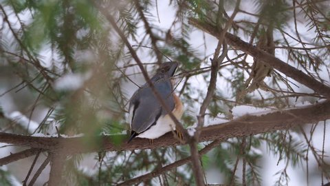 Eurasian nuthatch or wood nuthatch Sitta europaea sitting on frozen tree branches. Close up footage of colorful bird in winter forest.
