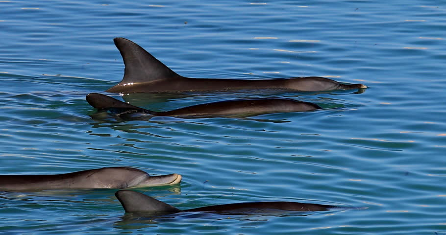 Closeup of dolphins swimming in Monkey Mia, a marine reserve near Denham, Shark Bay, on coral coast in Western Australia. Monkey Mia is the only place in Australia visited daily by dolphins. #1006687882