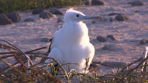 GALAPAGOS ISLANDS, ECUADOR - CIRCA 2010s - A juvenile booby bird sits on a nest in the Galapagos Islands, Ecuador.