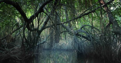 Saline swamp with mangrove plants flooded by tide growing in natural ecosystem of tropical forest near coast of Sri Lanka. Large old trees with bent and twisted roots hanging from above grow on sides