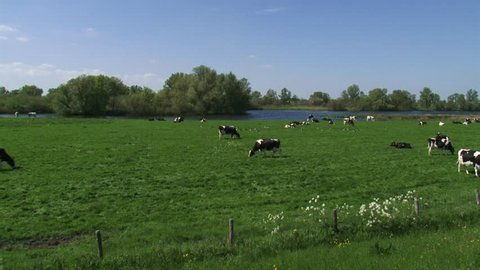 black and white patched cattle grazes at the riverside of the dike.  IJSSEL, THE NETHERLANDS