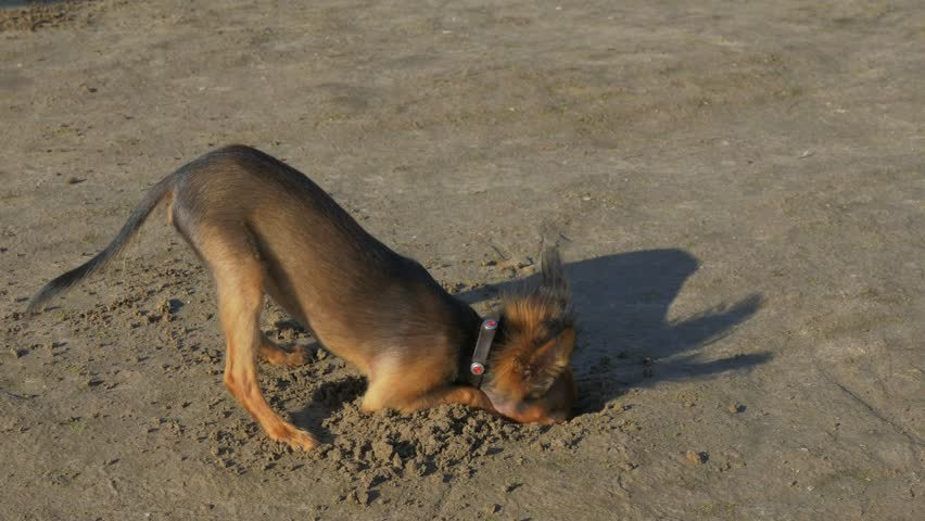 The dog digging a hole in the sand. Shooting video slow motion 60fps.