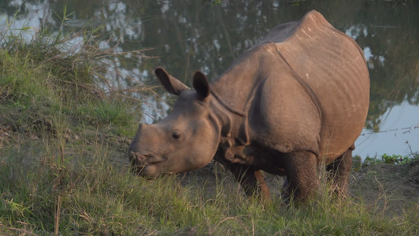 Young greater one-horned rhino (Rhinoceros unicornis) in Chitwan national park, Nepal