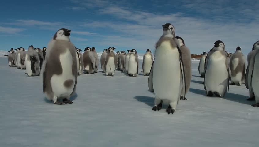 Almost grown Chicks of Emperor penguins(aptenodytes forsteri)colony on the sea ice of Davis sea,Eastern Antarctica