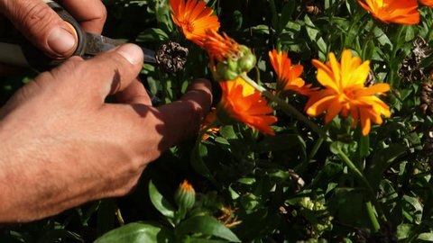 Gardener using pruning shears to cut and harvest calendula flowers