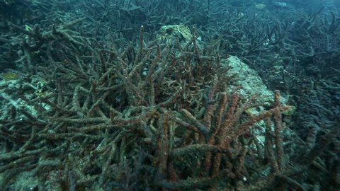 Unhealthy staghorn coral on reef at Port Barton, Palawan, Philippines