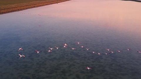 drone flight over flamingos flying over a lake at sunrise