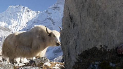 White yak in the Nepalese Himalayas. Snow-covered tops on the background. Steadicam shot.