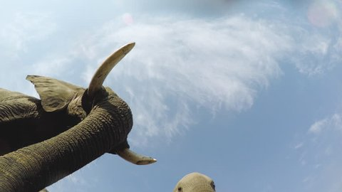 Spectacular footage of elephants drinking water directly above the camera, Okavango Delta, Botswana