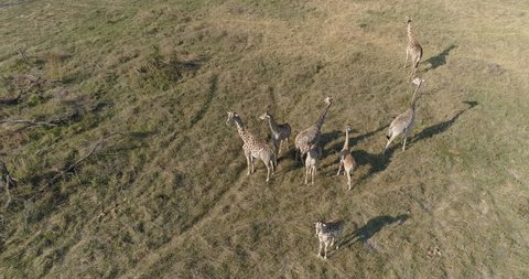 Straight down aerial view of a small herd of giraffes standing in the Okavango Delta, Botswana
