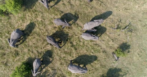 Straight down, zoom out high aerial view of a breeding herd of elephants feeding in the Okavango Delta, Botswana