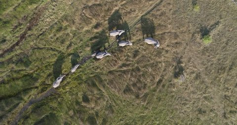 High aerial view of a breeding herd of elephants walking in the marshy grasslands of the Okavango Delta, Botswana