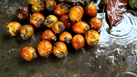 Betel nuts (Areca catechu) during the rainy day