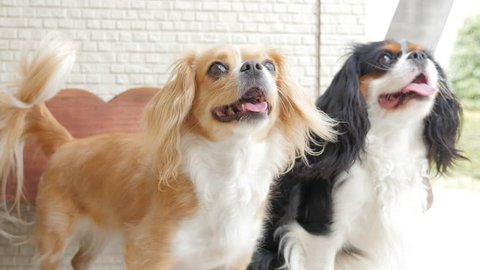 Cavalier King Charles Spaniel and Mixed Breed