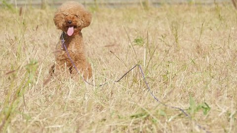 Take the dog for a walk (Toy Poodle)
