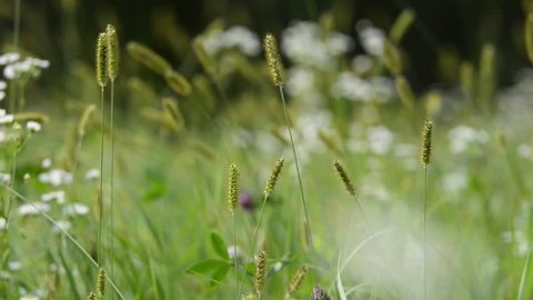 Spikelets of grass and flowers swayed by the wind on a blurred background. Meadow grass in the countryside.