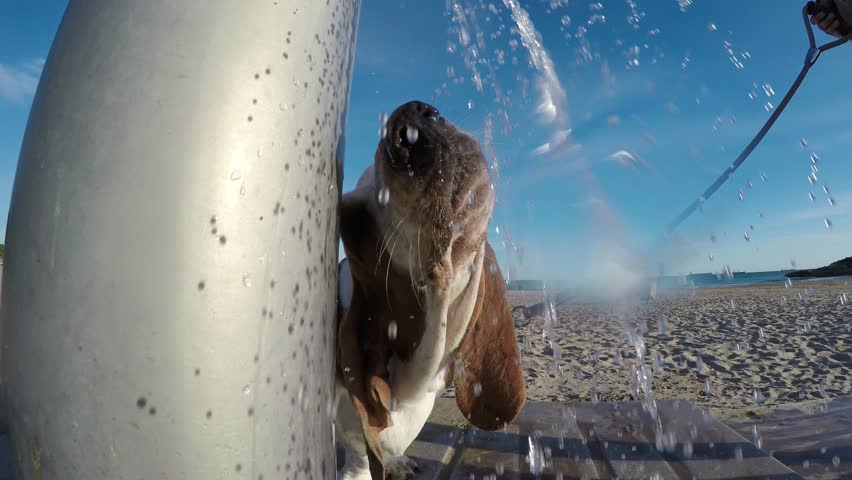 Basset Hound drinking water from the shower on the beach in sunny day
