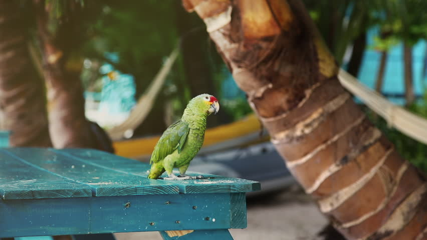 A curious Parakeet looking at the camera. The parakeet is a small parrot with predominantly green plumage and a long tail.