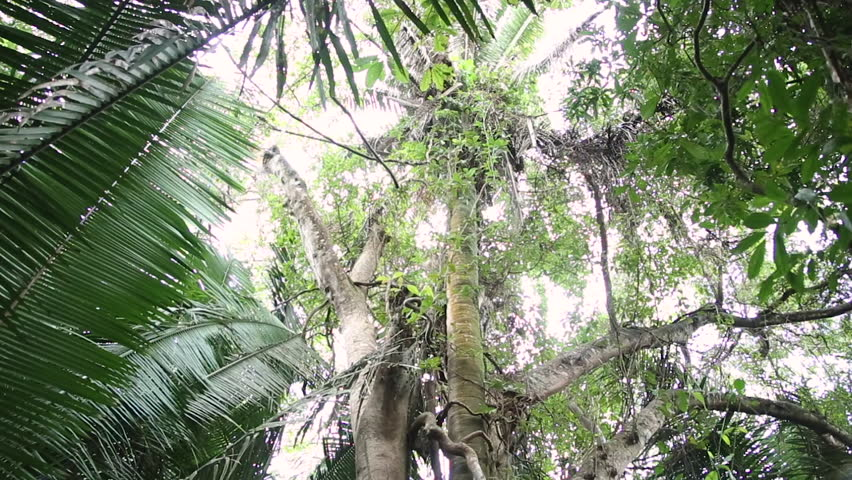 Strangler fig tree is named for their pattern of growth on host trees, which often results in the host's death. The tree is common in the tropical fauna and vegetation by Monkey River in Belize.