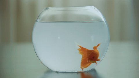 goldfish in a bowl aquarium