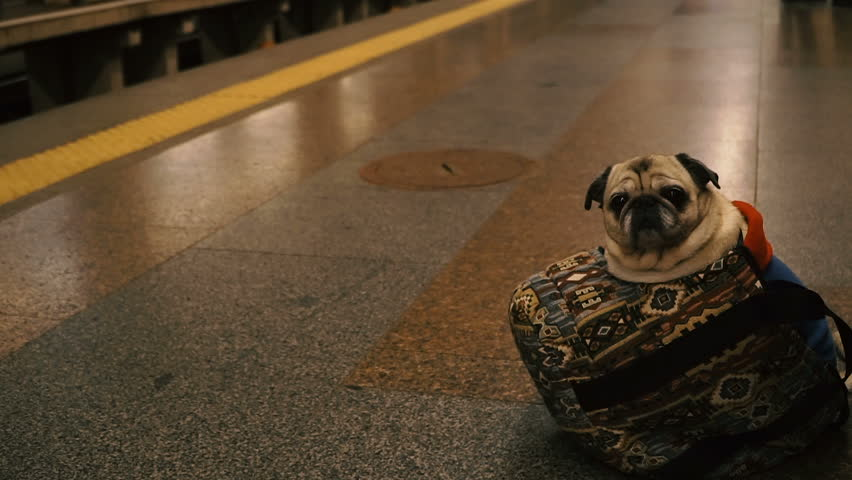 A dog in the transport. Dog of the Pug breed rides in transport