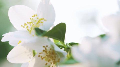 beautiful jasmine white flowers in summer day pan