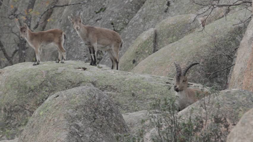 Free Spanish mountain goats in the mountain