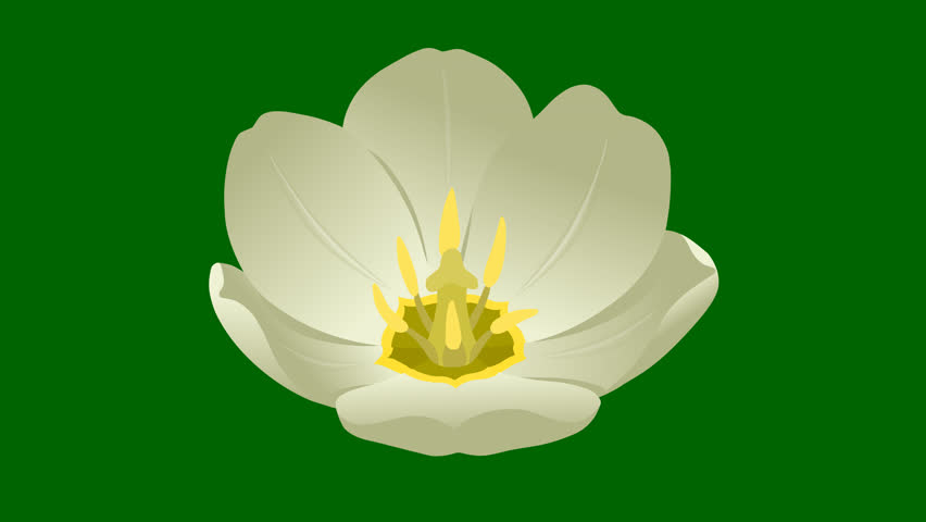 Flowers White Tulip.  Hand drawn animation bud of tulips. 3 looped animations