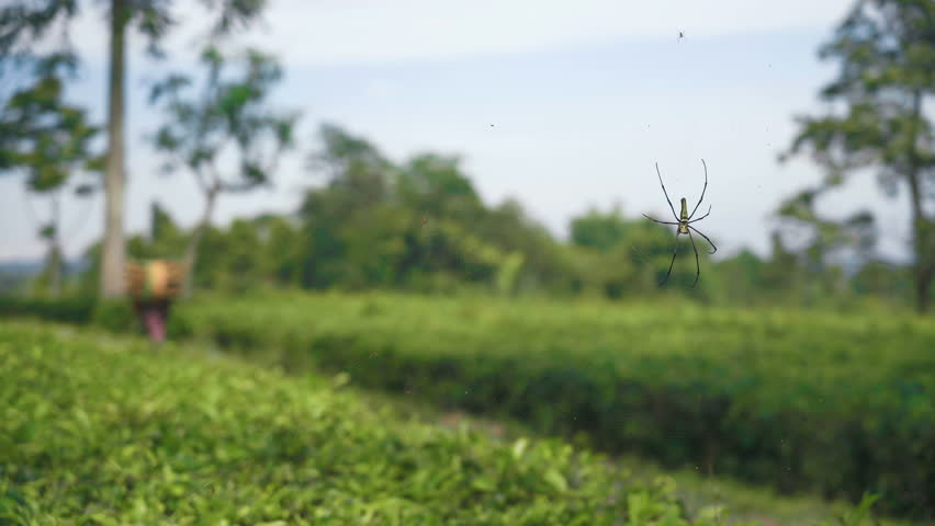Golden web spider Nephila pilipes on tea plantations, people with wood walking | Shutterstock HD Video #1007380192