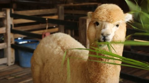 Close up the alpaca eating grass leaves