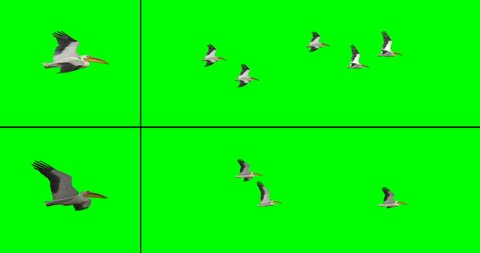 Flock of pelicans in flight for compositing onto your footage. Includes two flock options, one at a lower angle and on from a higher angle, on a green background.