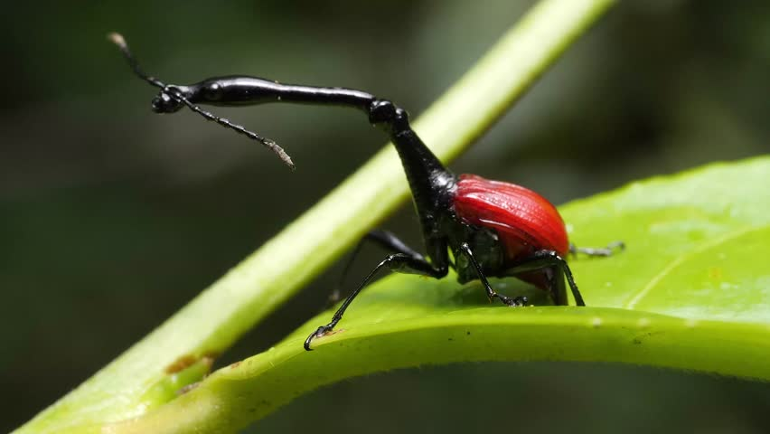 giraffe weevil male on a leaf, moving his long neck