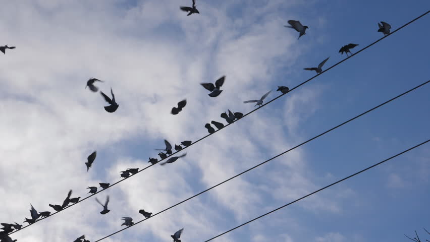 Slow motion shot of pigeons coming into land on wires. Toronto, Canada. Handheld shot with stabilized camera. | Shutterstock HD Video #1007552302