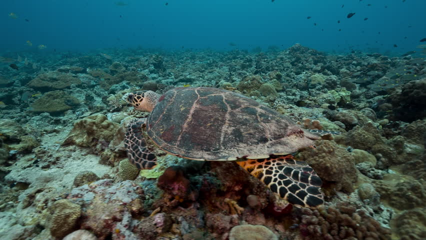 Large turtle swims over coral reef and through school of yellow fish | Shutterstock HD Video #1007589322