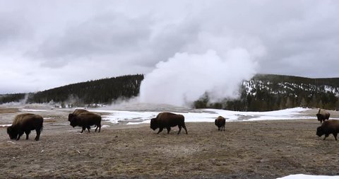 Herd or obstinacy of American Bison, or buffalo, grazing around erupting Old Faithful geyser in Yellowstone National Park, Wyoming in winter.