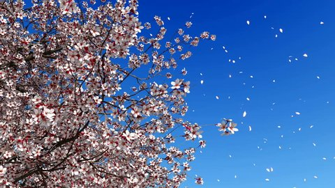 Close up low angle view of lush blooming sakura cherry tree with flower petals falling in slow motion against bright blue sky background. High detailed realistic 3D animation rendered in 4K