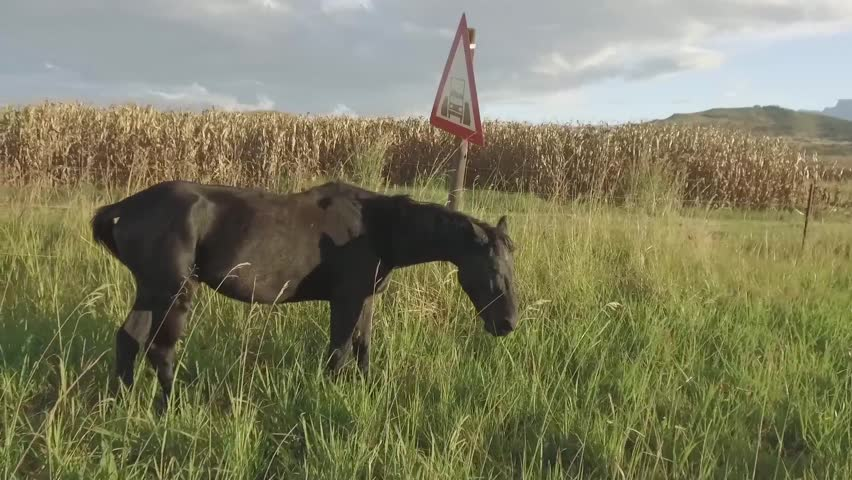 Slow Motion of a beautiful black horse standing in front of the Drakensberg Mountain Range.