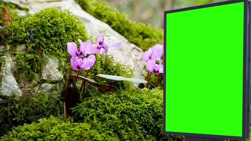Billboard green screen near the violets flowers   Shutterstock HD Video #1007704030