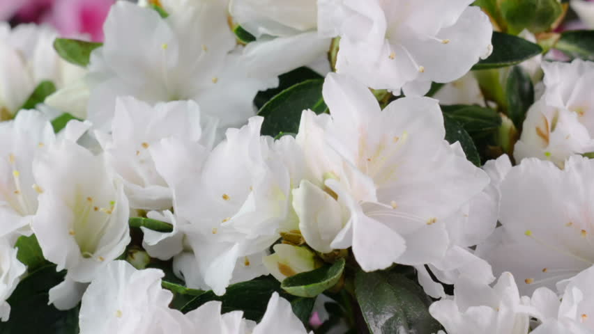 White Azalea Flower Blooming Time-Lapse Zoom Out From Buds to the Blossomed Flowers