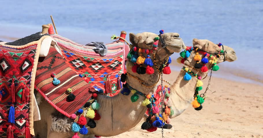 Two camels sitting on a sea beach in Egypt, Sharm-El-Sheikh