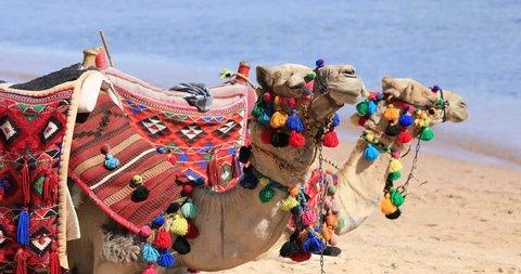 Two camels sitting on a sea beach in Egypt, Sharm-El-Sheikh