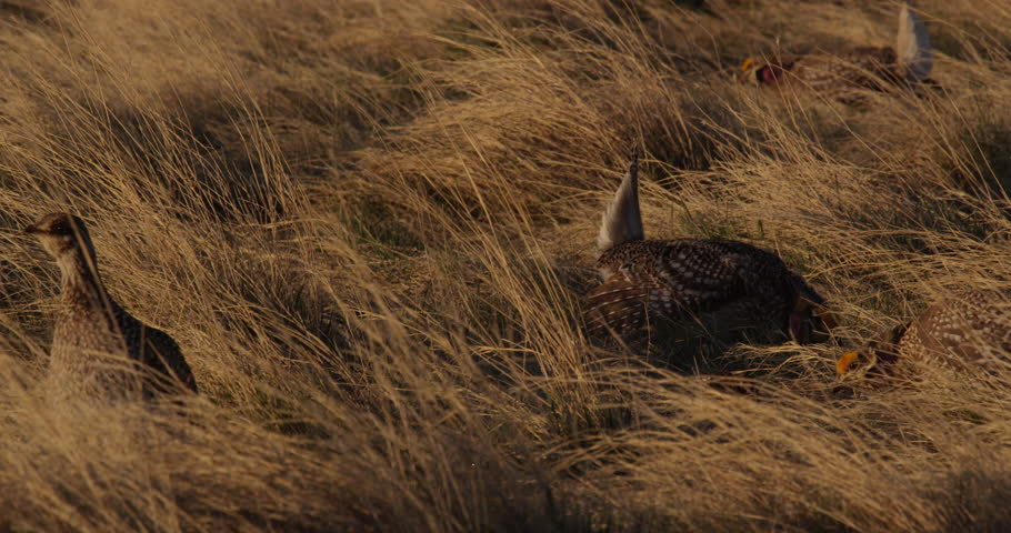 Sharptail grouse on lek dance excitedly around in the morning light, close