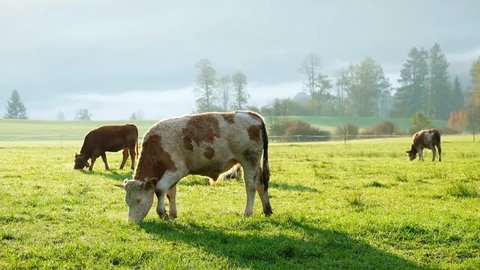 Cows grazing on a green lush meadow in the Bavarian Alps.  Nationalpark Berchtesgadener Land, Bavaria, Germany